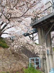 asahigawa_sakura2013_005