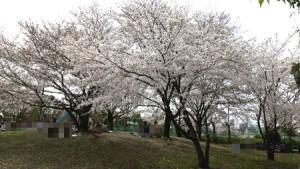 asahigawa_sakura2013_008