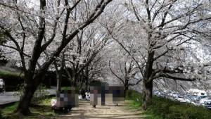 asahigawa_sakura2013_009