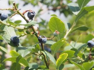 blueberry_nihsida_006