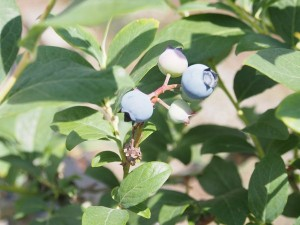 blueberry_nihsida_007