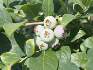 blueberry_nihsida_008