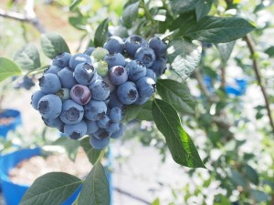 blueberry_nihsida_012