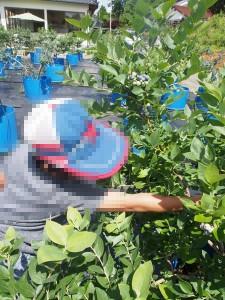 blueberry_nihsida_014
