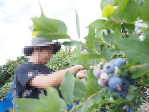 blueberry_nihsida_016