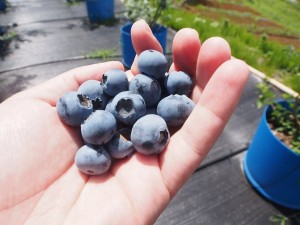 blueberry_nihsida_017