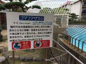 shibukawa_marin_100